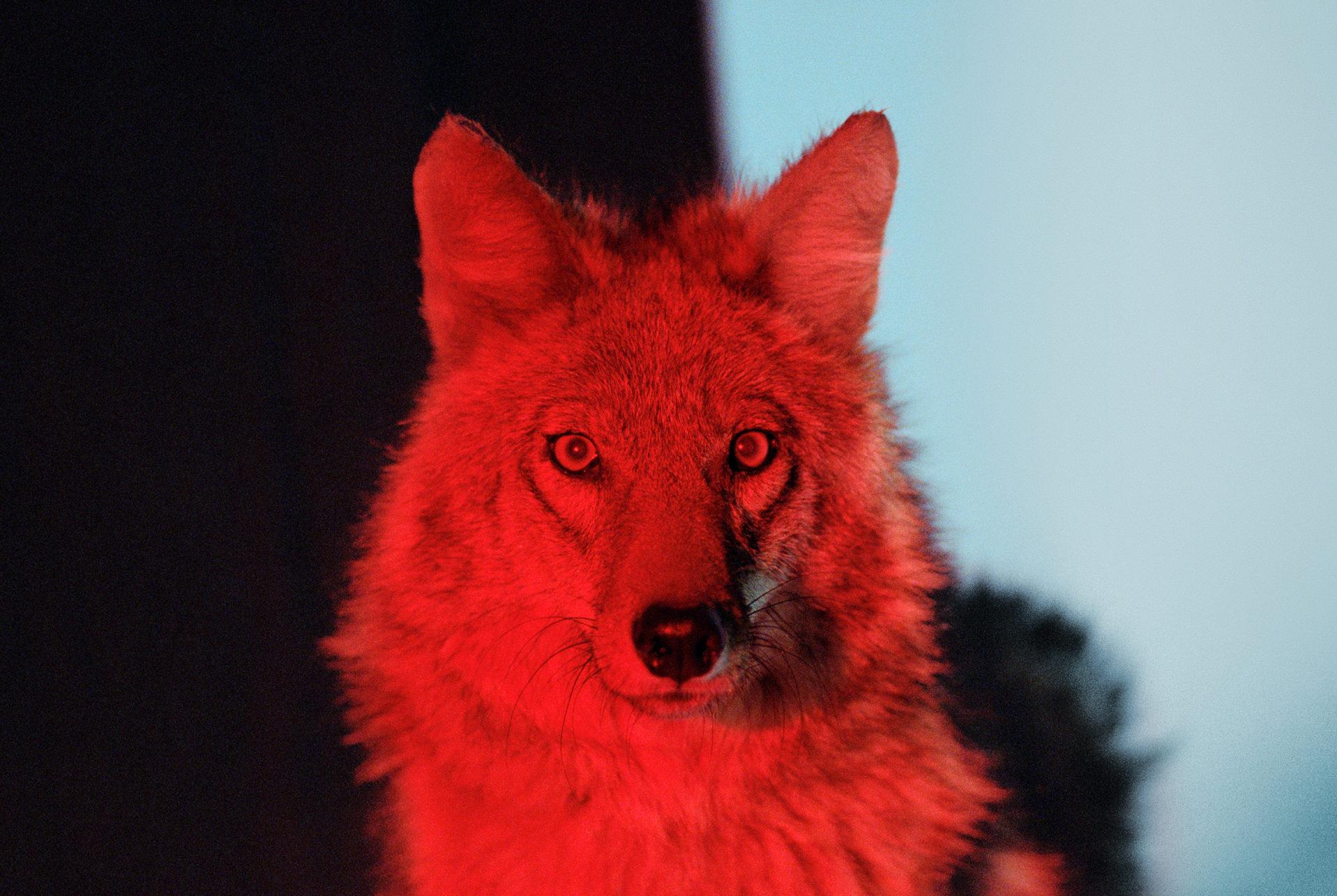 davidblack-cerrogordo-coyote-1920x1287